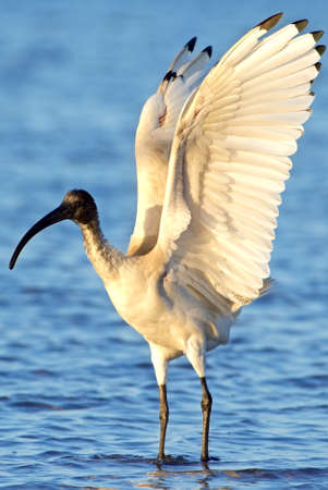 black plumage: Ibis with white plumage bare, black head, long down curved bill and black legs standing in water Stock Photo