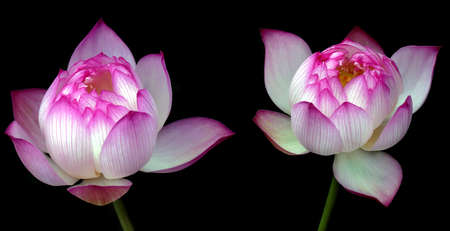 lotus flowers: Pink water lily flowers (lotus) over black background Stock Photo