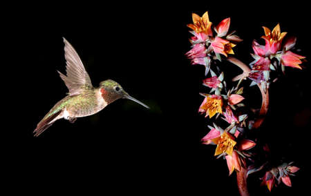 rufous: Adult male Rufous hummingbird in flight with tropical flower over black background Stock Photo