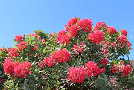 Eucalyptus ptychocarpa (Corymbia ptychocarpa) over blue sky background