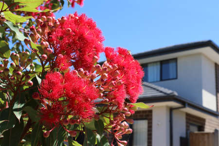 Modern architecture exterior details with red flowering eucalyptus Stock Photo