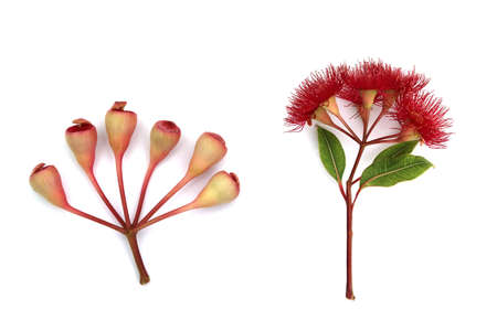 Red eucalyptus flowers with buds and leaves on white background Stock Photo