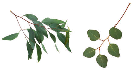 Eucalyptus branches with green leaves on white background