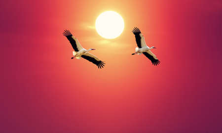 genera: Beautiful white storks against soft red sky concept of love