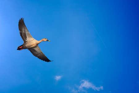 genera: Beautiful bird in flight against blue sky background