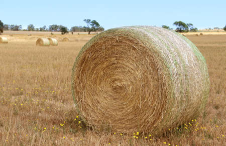 hayroll: Bales of hay in the fields in summer time harvest