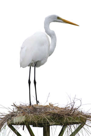 roosting: White heron in its platform nest over white background vertical image