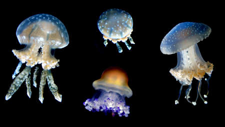 aquaria: Group of jellyfish with eight highly branched oral arms Stock Photo