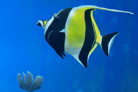 zanclus cornutus: Moorish idol (Zanclus cornutus) marine fish species underwater Stock Photo