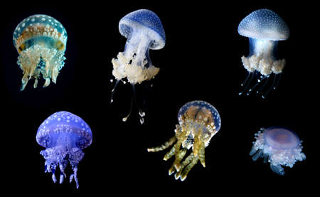 branched: Group of jellyfish with eight highly branched oral arms Stock Photo