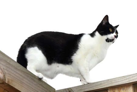 Black and white domestic cat over white background