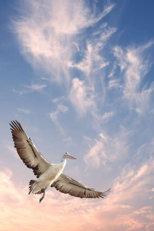 Beautiful tropical pelican in flight vertical image