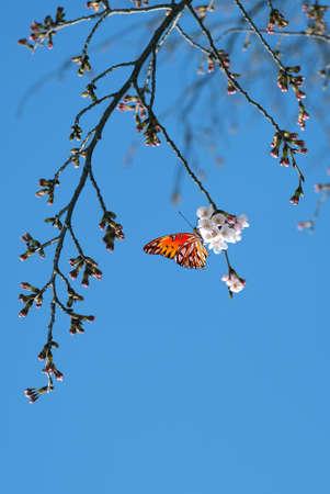 in full bloom: Cherry blossom in full bloom vertical image Stock Photo