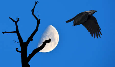 Raven on blue sky background with tree silhouette over the moon Banque d'images