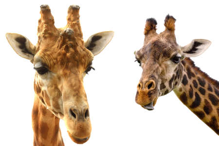 Tallest Living Terrestrial Animals over white background Banque d'images