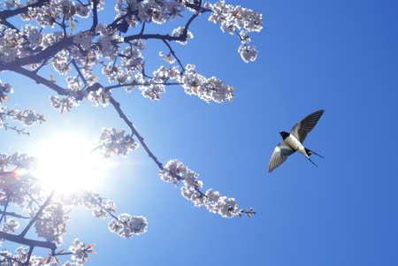 Spring flowering branches with flying barn swallow 스톡 콘텐츠
