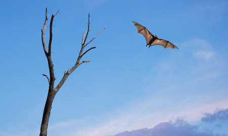 Dead Trees with flying fox Halloween concept Stock Photo