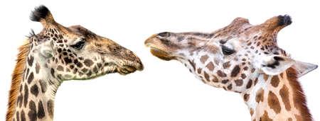 Giraffe heads isolated on white background panoramic view