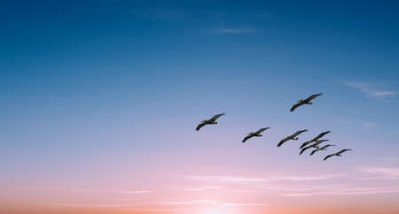 Beautiful Pelicans in flight against bright sky panoramic view