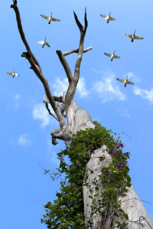 Vines wrapped around an old gum tree with a flock of geese flying overhead Banque d'images - 144025007