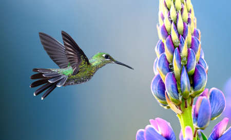 Green-crowned Brilliant Hummingbird with purple tropical flower
