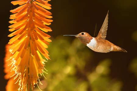 Beautiful hummingbird flying over tropical flower kniphofia