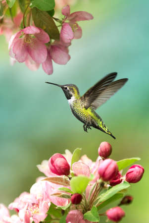 Tiny hummingbird over blurred green spring background