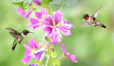Hummingbird over green summer background