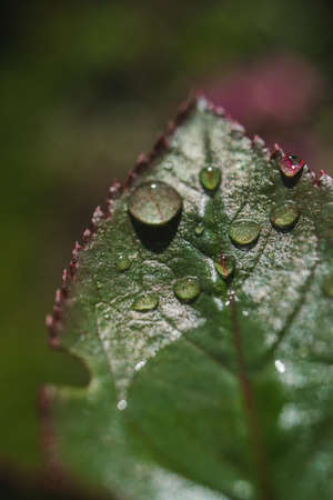 Macro photo of a rose leaf with drops of water from the morning dew.