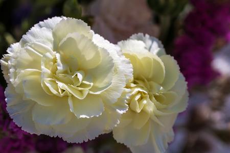 Close - up of big white flower photo