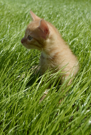 A small orange fluffy kitten looks attentively to the side and sits in a thick beautiful green juicy grass in a summer day
