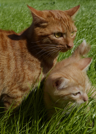 Orange fluffy kitten hiding in the green grass on a summer day. Looks round big big eyes forward. Mama cat guards her kitten and carefully looks around