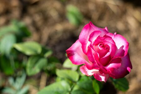 Pink rose flower, red bud on a green foliage background, isolated flower, photo