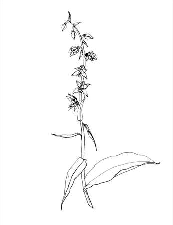 Hand drawn vector summer illustration of a helleborine orchid, flowers and leaves 일러스트