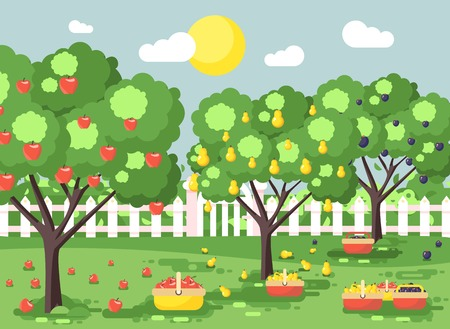 Vector illustration cartoon harvesting ripe fruit autumn orchard garden with plums, pears, apples trees, put crop in full baskets, green landscape scene outdoor background flat style