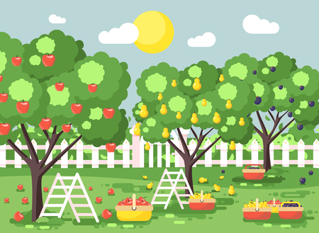 Vector illustration cartoon harvesting ripe fruit autumn orchard garden with stepladders plums, pears, apples trees, put crop in full baskets, green landscape scene outdoor background flat style