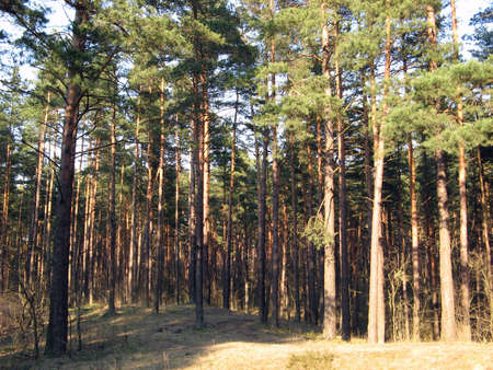 Pine wood, to these pines some tens years. photo