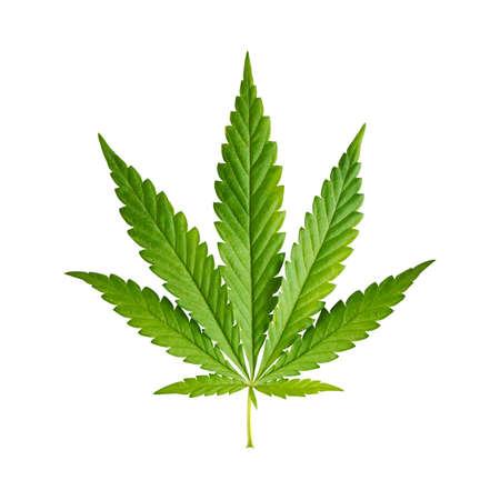 hoja marihuana: Hoja del cáñamo aislado en el fondo blanco Foto de archivo