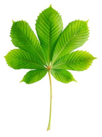 녹색 밤나무 잎 화이트 절연