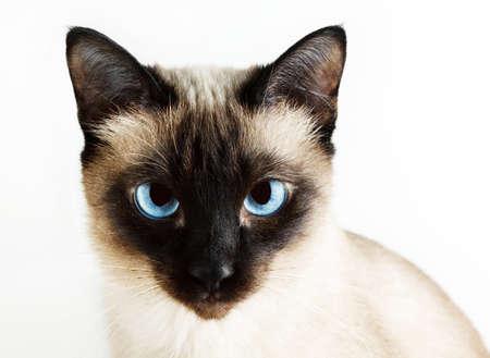 blue siamese cat: Siamese cat on white background