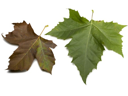 leaves platanes isolated on a white Stock Photo - 12414101