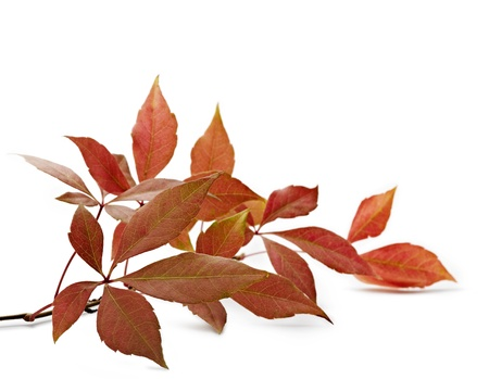 Autumnal ornament, red leaves Stock Photo - 12414113