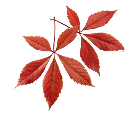 Autumnal ornament, red leaves Stock Photo - 12414080