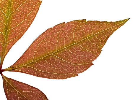 red leaf texture Stock Photo - 12414196