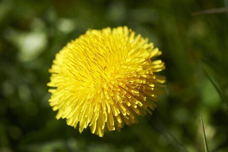 deep focus: Green grass with Dandelion in Macro with Low Deep Focus