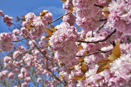 tender tenderness: Japanese cherry tree blossom in springtime