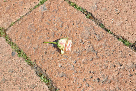weed block: Block paving pattern. Paved with stones with weeds between bricks and a rose on the ground