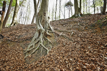 face in tree bark: Tree with spreading root system in the Belgian forest from Halle