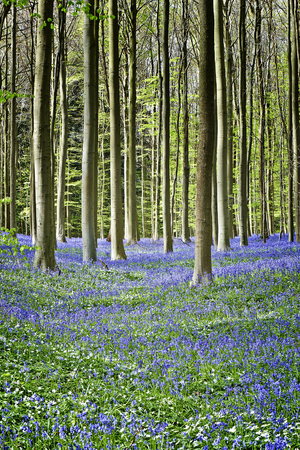 bluebell woods: Magical Morning  in forest of Halle with bluebell flowers, Halle, Belgium