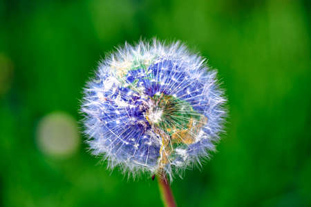 backgound: Dandelion with earth shape against green backgound Stock Photo